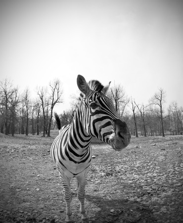 Grants Zebra  Equus quagga boehmi  taken with a wide angle lens