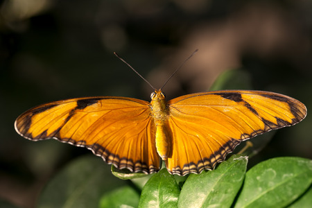 Julia Butterfly  Dryas iulia  on some leaves