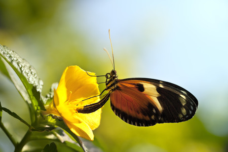 Tiger Longwing Butterfly  Heliconius ismenius clarescens  on a yellow flower with a glow from the sunlight