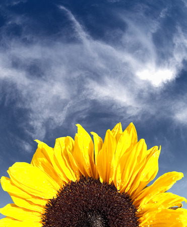 Sunflower against a blue sky and clouds