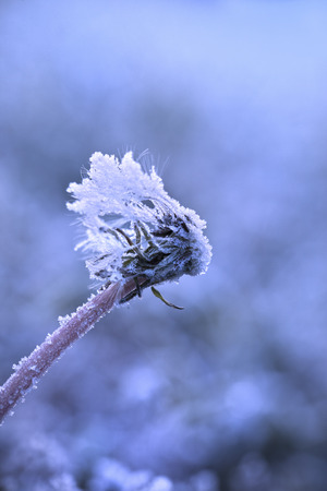 Dandelion covered in frost  photo
