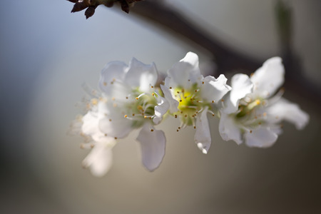 Flowering Bradford Pear Tree in the early spring Foto de archivo