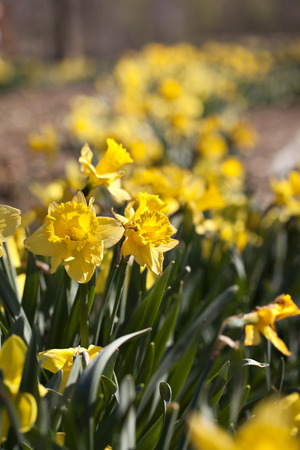 Row of yellow Daffodil flowers in the spring time