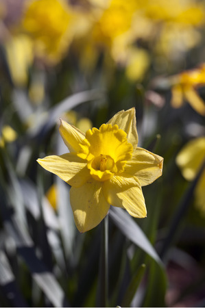Yellow Daffodil flowers in the spring time