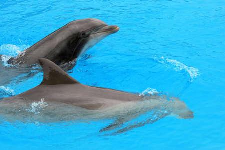 mammalian: Swimming Dolphins