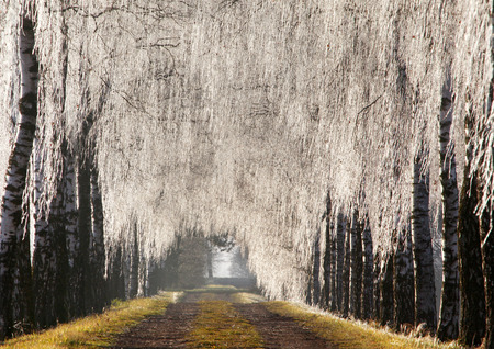 wintery snowy: Birches with ice coat, icy