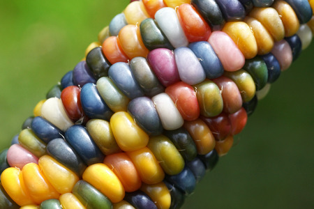 Rainbow Corn - Glass Gem Corn