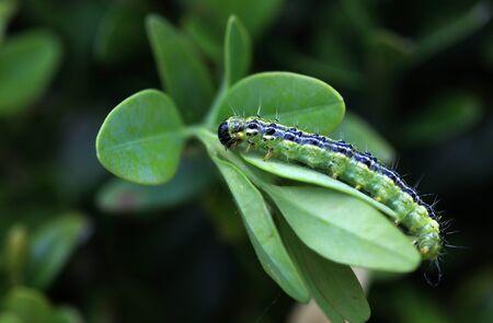 Cydalima perspectalis, box tree moth, Boxwood, Buxus sempervirens, eating Caterpillar. Dangerous pest feeding on leaves of the common box tree. Standard-Bild