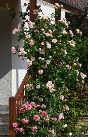 Beautiful pink english climbing roses flowers in their natural environment in the garden with green leaves in the background