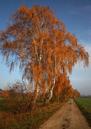 Large birch trees in autumn colors near Meitingen an der Schmutter in the Augsburg district Stock Photo
