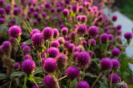Purple flower (Gomphrena globosa) at the park with soft tungsten sun glares. Image photo