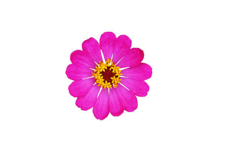 Cut out pink zinnia elegans dahlia flower isolated on white background. Image photo
