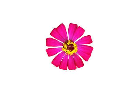 pink zinnia elegans dahlia flower isolated on white background. Image photo Imagens
