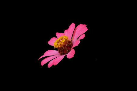 pink zinnia elegans dahlia flower isolated on black background. Image photo