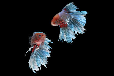Two flaying and dancing betta siamese fighting fish (Giant Halfmoon Rosetail type in red purple body color and blue white fin color combination) isolated on black background