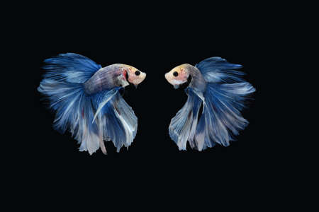 Two dancing of betta siamese fighting fish (Giant Halfmoon Rosetail in white blue color combination) isolated on black background