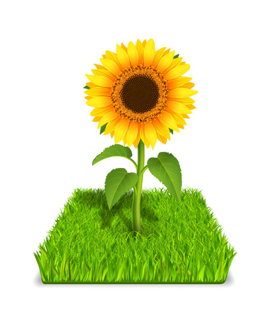 pedicle: Realistic sunflower in the green grass vector illustration