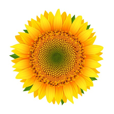 sunflower isolated: Girasol aislado en blanco ilustraci�n vectorial