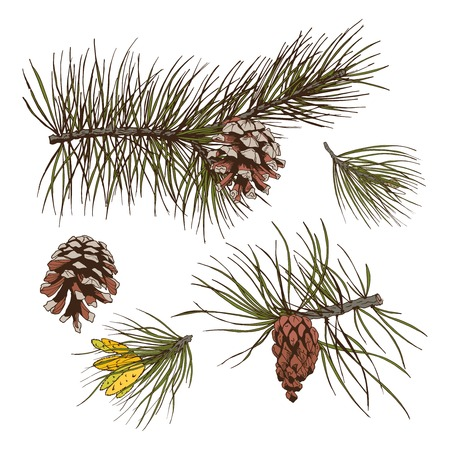 Pine fir cedar spruce forest branches with cones isolated design elements vector illustration