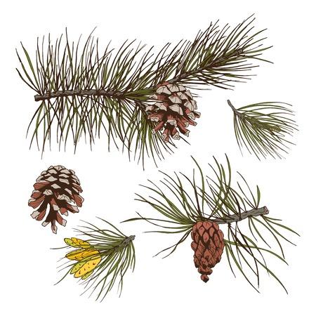 pinoli: Pino abete cedro rami di abete rosso della foresta con coni isolati illustrazione di elementi di design vettoriale