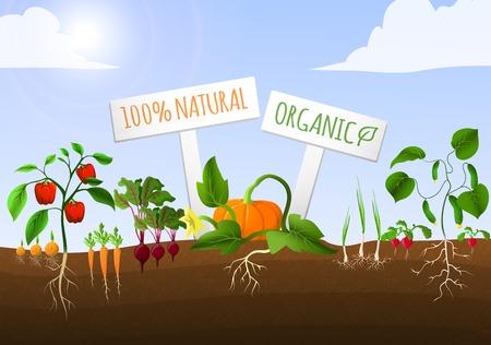 チャイブ: 地面のベクトル図の植えられた自然有機人参コショウ タマネギ キュウリの野菜食糧庭ポスター