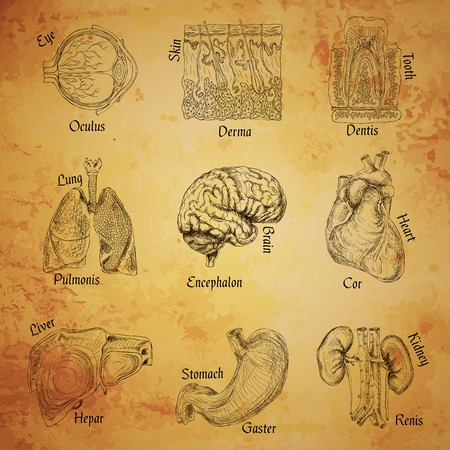 Human organs sketch set of eye skin tooth lung brain isolated vector illustration Vector