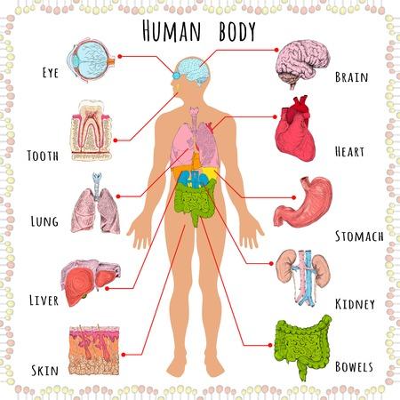Infografia médica do corpo humano com silhueta de pessoa e ilustração vetorial de órgãos