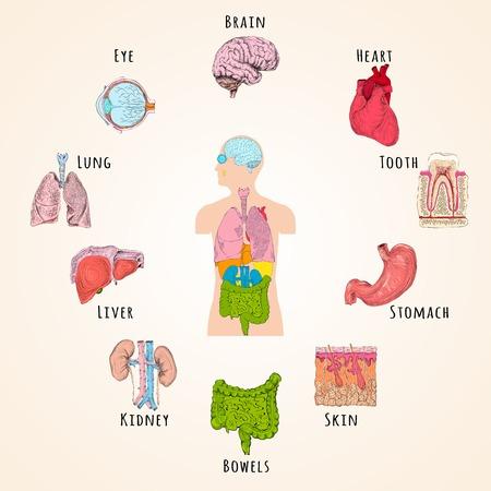 seres humanos: Concepto humano de la anatom�a con la silueta del cuerpo y �rganos iconos, ilustraci�n vectorial
