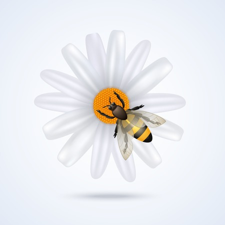 camomiles macro: Realistic honey bee on daisy flower isolated on white background vector illustration Illustration