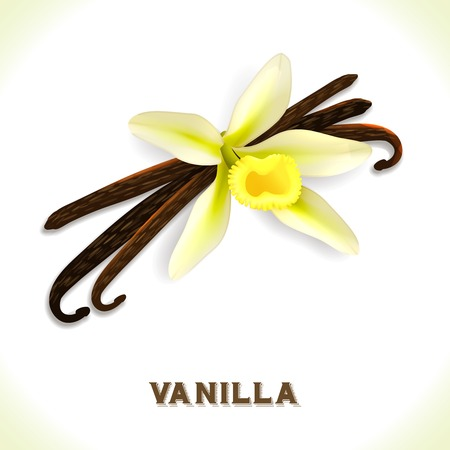 Vanilla pod and flower isolated on white background vector illustration