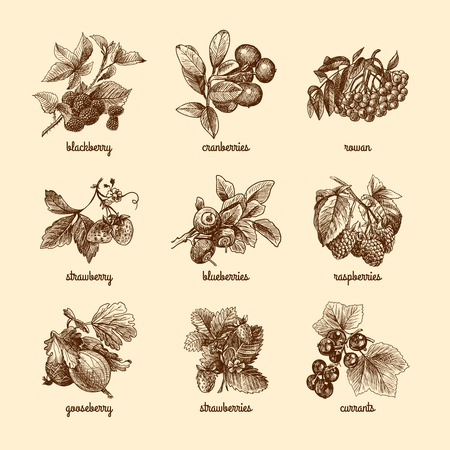 Natural organic berries set of strawberry blackberry cranberry sketch isolated vector illustration Vectores