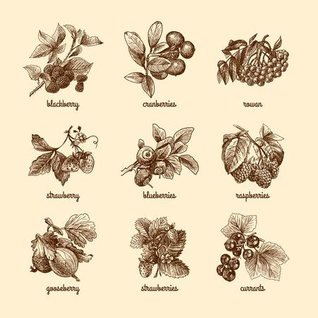 Natürliche organische Beeren eingestellt von Erdbeere Brombeere Cranberry-Skizze isoliert Vektor-Illustration Vektorgrafik