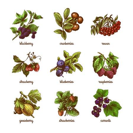 Natuurlijke set van rowan kruisbes bessen biologische bessen gekleurde schets geïsoleerde vector illustratie Stockfoto - 32133127