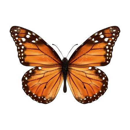monarch butterfly: Insects realistic colored butterfly isolated on white background vector illustration Illustration
