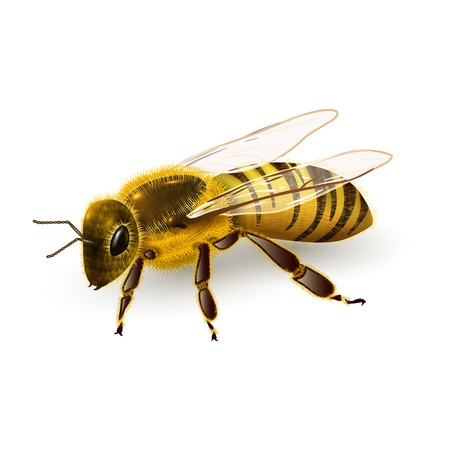 Honey bee striped wasp insect realistic on white background vector illustration