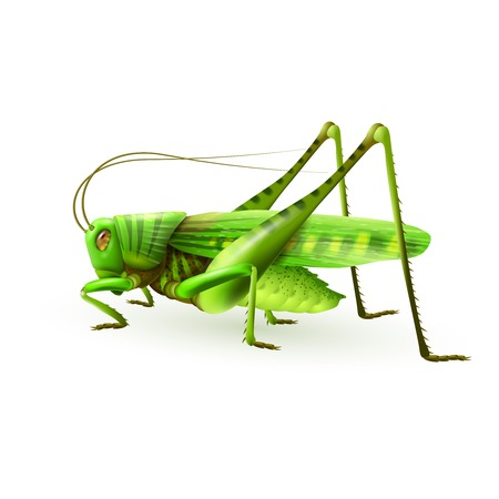grasshoppers: Green grasshopper centipede insect realistic on white background vector illustration