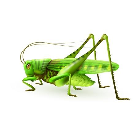langosta: Saltamontes verde ciempiés insecto realista sobre fondo blanco ilustración vectorial