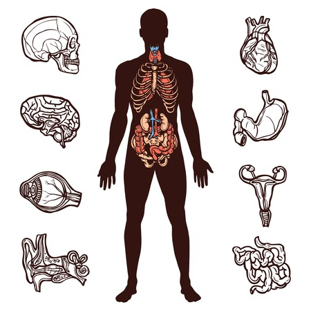 Anatomy set with sketch internal organs and human figure isolated vector illustration
