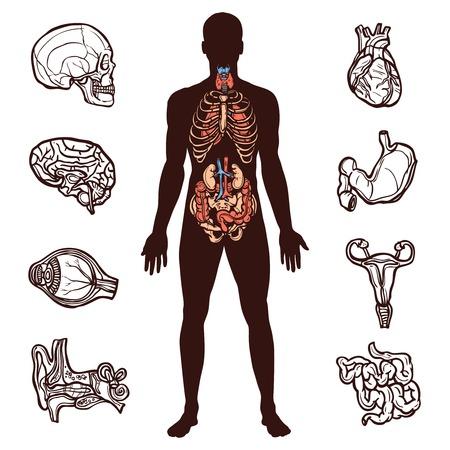 Anatomie mit Skizze inneren Organe und menschliche Figur isoliert Vektor-Illustration gesetzt Standard-Bild - 36519897