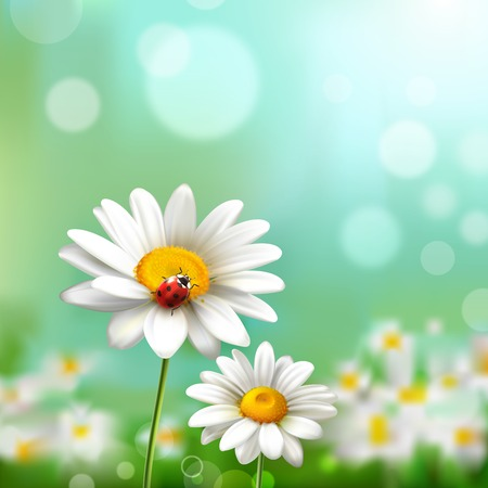 chamomile flower: Summer meadow background with realistic daisy flower and ladybug vector illustration
