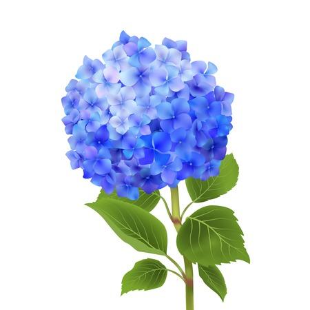 flor aislada: Realista flor azul hortensia aislado en fondo blanco ilustraci�n vectorial