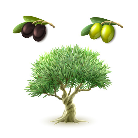 olive: Olive oil production traditional primary products pictograms set of green and black olives abstract isolated vector illustration