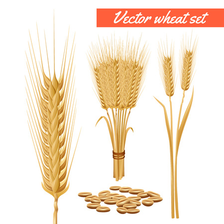 advertizing: Ripe wheat plant harvested heads and grain decorative and health benefits advertizing poster background abstract vector illustration Illustration