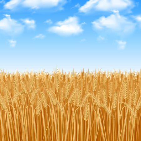 Golden yellow wheat field and summer sky background vector illustration Stock Illustratie