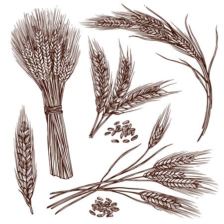 boceto: Oídos del trigo cereales surgen iconos decorativos bosquejo conjunto aislado ilustración vectorial