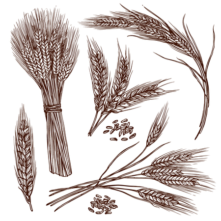 hands plant: Wheat ears cereals crop sketch decorative icons set isolated vector illustration