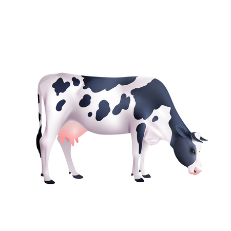 grazing: Black and white spotted cow lowered its head isolated on white background realistic vector illustration