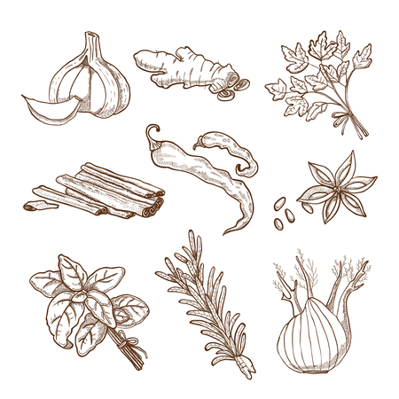 retro style: Hand drawn herbs leaves and roots spices set in retro style isolated vector illustration Illustration