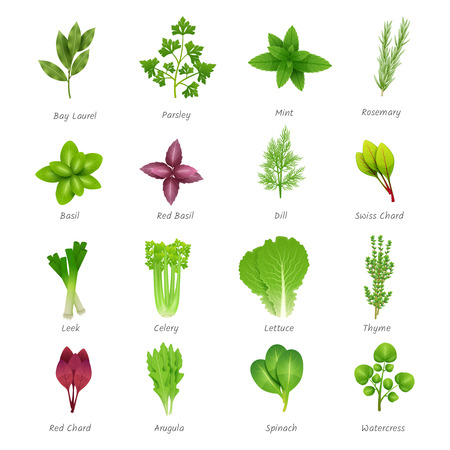 lettuce: Icons set of different special herbs wich using in cooking with titles realistic isolated vector illustration