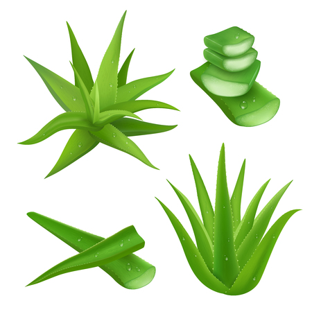 aloe: Aloe vera plant realistic set with cut pieces isolated vector illustration